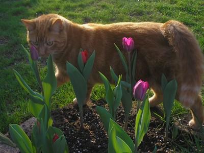 Stewart Tulips Small
