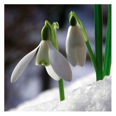 Snowdrop 13