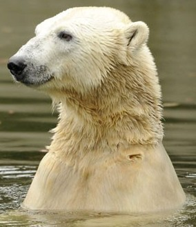 Knut small