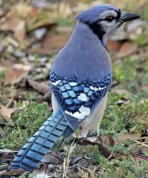Blue jay 250
